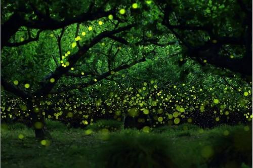Nature Zen-Fireflies