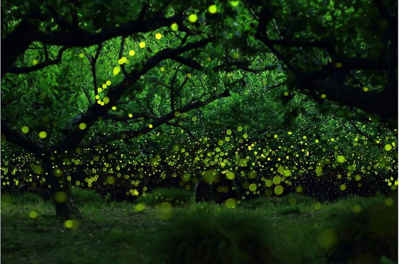 Nature Zen-Fireflies